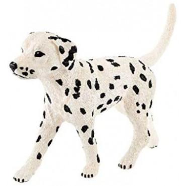 Dalmatian Male